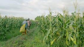 CHIANG RAI, ΤΑΪΛΆΝΔΗ - 7 ΙΟΥΝΊΟΥ: Ξένοι εργάτες βιρμανίδα μίσθωση του Μιανμάρ ή της Βιρμανίας για να συγκομίσει το γλυκό καλαμπόκ φιλμ μικρού μήκους