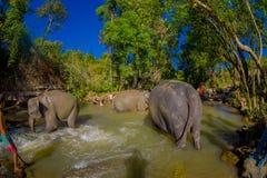 CHIANG RAI, TAILANDIA - 1 DE FEBRERO DE 2018: Vista al aire libre hermosa del grupo de jugar feliz de los elefantes en el agua en Imagen de archivo
