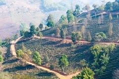 Chiang Rai, Tailandia - 28 febbraio 2015: Vista della piantagione di tè Lan immagine stock