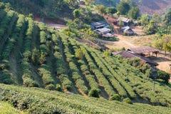 Chiang Rai, Tailandia - 27 febbraio 2015: Vista della piantagione di tè Lan immagine stock