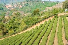Chiang Rai, Tailandia - 27 febbraio 2015: Vista della piantagione di tè Lan immagini stock