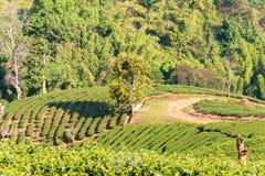 Chiang Rai, Tailandia - 28 febbraio 2015: Vista della piantagione di tè Lan fotografie stock