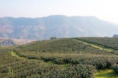Chiang Rai, Tailandia - 28 febbraio 2015: Vista di mattina di tè Plantat immagini stock