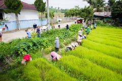 CHIANG RAI, TAILANDIA - 16 LUGLIO: Prepa tailandese non identificato degli agricoltori Immagini Stock Libere da Diritti