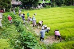 CHIANG RAI, TAILANDIA - 16 LUGLIO: Prepa tailandese non identificato degli agricoltori Fotografie Stock