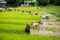 CHIANG RAI, TAILANDIA - 16 LUGLIO: Prepa tailandese non identificato degli agricoltori Fotografia Stock Libera da Diritti
