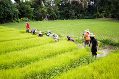 CHIANG RAI, TAILANDIA - 16 LUGLIO: Prepa tailandese non identificato degli agricoltori Immagini Stock