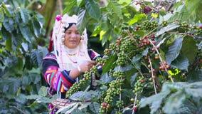 CHIANG RAI, TAILANDIA - 21 novembre: Donne dalla Tailandia che seleziona il seme rosso del caffè sulla piantagione di caffè il 21 stock footage