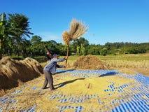 CHIANG RAI, TAILANDIA - 23 NOVEMBRE: Th tailandese non identificato dell'agricoltore Immagine Stock