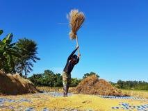 CHIANG RAI, TAILANDIA - 23 NOVEMBRE: Th tailandese non identificato dell'agricoltore Fotografie Stock