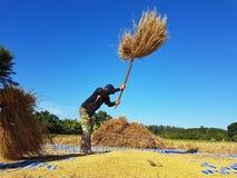 CHIANG RAI, TAILANDIA - 23 NOVEMBRE: Th tailandese non identificato dell'agricoltore Fotografia Stock Libera da Diritti