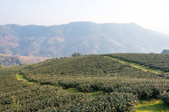 Chiang Rai, Thailand. - Feb 28 2015: Morning View of Tea Plantation. Landscape of tea plantation at Doi Mae Salong, Chiang Rai, Th. Ailand stock images