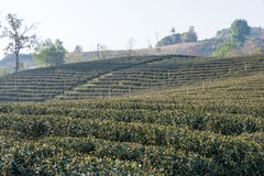 Chiang Rai, Thailand. - Feb 28 2015: Morning View of Tea Plantat. Ion. Landscape of tea plantation at Doi Mae Salong, Chiang Rai, Thailand Royalty Free Stock Photography