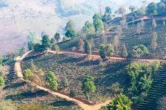 Chiang Rai, Thailand. - Feb 28 2015: View of Tea Plantation. Lan. Dscape of tea plantation at Doi Mae Salong, Chiang Rai, Thailand stock image