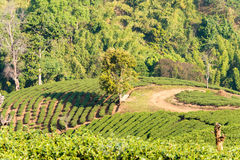 Chiang Rai, Thailand. - Feb 28 2015: View of Tea Plantation. Lan. Dscape of tea plantation at Doi Mae Salong, Chiang Rai, Thailand stock photos
