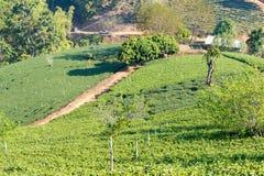 Chiang Rai, Thailand - 28 februari 2015: Mening van Theeaanplanting LAN Royalty-vrije Stock Afbeeldingen