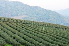 Chiang Rai, Thailand - 28 februari 2015: Ochtendmening van Thee Plantat Royalty-vrije Stock Foto's