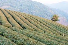 Chiang Rai, Thailand - 28 februari 2015: Ochtendmening van Thee Plantat Royalty-vrije Stock Fotografie