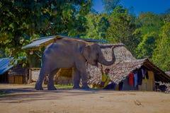 CHIANG RAI THAILAND - FEBRUARI 01, 2018: Ursnygg utomhus- sikt av den oidentifierade mannen som spelar med en elefant i en lera Royaltyfria Foton