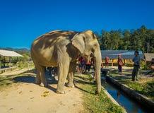 CHIANG RAI THAILAND - FEBRUARI 01, 2018: Utomhus- sikt av oidentifierat folk som ser en enorm elefant i djungel Royaltyfria Foton