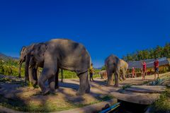 CHIANG RAI, THAILAND - FEBRUARY 01, 2018: Unidentified skinny guys taking pictures of the beautiful huge elephants royalty free stock images