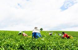 CHIANG RAI, THAILAND - 18. JULI: Junge Frauen, die grüne Teeblätter am 18. Juli 2015 bei Chiang Rai, Thailand ernten Lizenzfreie Stockfotografie