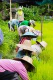 CHIANG RAI THAILAND - JULI 16: Oidentifierad thailändsk bondeprepa Royaltyfri Foto