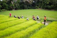 CHIANG RAI THAILAND - JULI 16: Oidentifierad thailändsk bondeprepa Arkivbild