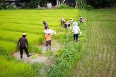 CHIANG RAI THAILAND - JULI 16: Oidentifierad thailändsk bondeprepa Fotografering för Bildbyråer