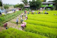 CHIANG RAI THAILAND - JULI 16: Oidentifierad thailändsk bondeprepa Royaltyfri Fotografi