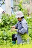 CHIANG RAI THAILAND - JULI 16: Oidentifierad thailändsk kvinnlig bonde Royaltyfria Foton