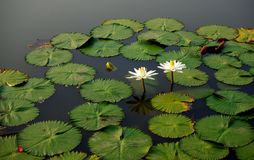 Chiang Raja Lillies Zdjęcia Stock
