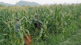 CHIANG RAJA TAJLANDIA, CZERWIEC, - 07: Zagranicznego robotnika birmańczyk Myanmar lub Birma dzierżawienie zbierać Słodką kukurudz zbiory wideo