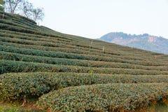 Chiang Raja, Tajlandia - Feb 28 2015: Ranku widok Herbaciany Plantat Obraz Royalty Free