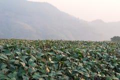 Chiang Raja, Tajlandia - Feb 28 2015: Ranku widok Herbaciany Plantat Zdjęcie Stock