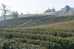 Chiang Raja, Tajlandia - Feb 28 2015: Ranku widok Herbaciany Plantat Fotografia Royalty Free