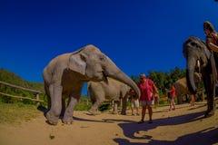 CHIANG RAJA TAJLANDIA, LUTY, - 01, 2018: Niezidentyfikowani ludzie bierze obrazki blisko do ogromnego pachyderm słonia, podczas Obraz Royalty Free