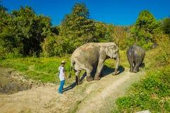 CHIANG RAJA TAJLANDIA, LUTY, - 01, 2018: Niezidentyfikowany mężczyzna odprowadzenie blisko do ogromni słonie w dżungli sanktuariu Obrazy Stock
