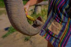 CHIANG RAJA TAJLANDIA, LUTY, - 01, 2018: Niezidentyfikowany osoby karmienie z wiązką mali banany ogromny pachyderm fotografia stock