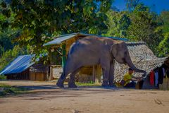 CHIANG RAJA TAJLANDIA, LUTY, - 01, 2018: Piękny plenerowy widok bawić się z słoniem w glinie niezidentyfikowany mężczyzna Obrazy Stock