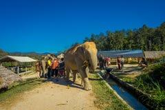 CHIANG RAJA TAJLANDIA, LUTY, - 01, 2018: Plenerowy widok niezidentyfikowani ludzie patrzeje ogromnego słonia w dżungli Zdjęcie Royalty Free