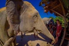 CHIANG RAJA TAJLANDIA, LUTY, - 01, 2018: Zadziwiający widok niezidentyfikowani ludzie blisko do ogromni słonie, mieć wielkiego Zdjęcia Stock