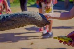 CHIANG RAJA TAJLANDIA, LUTY, - 01, 2018: Zakończenie up bagażnik bierze troszkę banana od mężczyzna ręki w a słoń Zdjęcie Stock