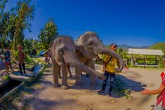 CHIANG RAJA TAJLANDIA, LUTY, - 01, 2018: Zamyka up holowniczy ogromni słonie je małych banany w dżungli sanktuarium wewnątrz Zdjęcia Royalty Free