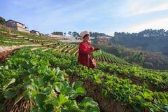 CHIANGMAI泰国- 1月11 :收获org的草莓农夫 库存图片