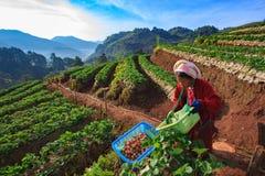 CHIANGMAI泰国- 1月11 :草莓农夫收获 免版税图库摄影