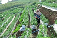 Chiangmai,泰国- 2018年1月14日:旅游采摘新鲜的草莓在假日收获庭院 收获草莓领域的果子 库存图片