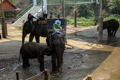 Chiangmai,泰国- 2016年3月31日:Mahout和大象怎么显示生活在剧痛Mae特性 免版税图库摄影