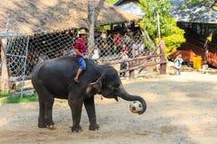 Chiangmai,泰国- 11月16 :大象抓住橄榄球和 免版税库存图片