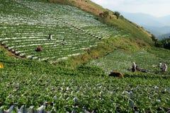 Chiangmai, Таиланд - 14-ое января 2018: Клубники туристской рудоразборки свежие жмут сад в празднике плодоовощ жать поле клубник Стоковые Изображения
